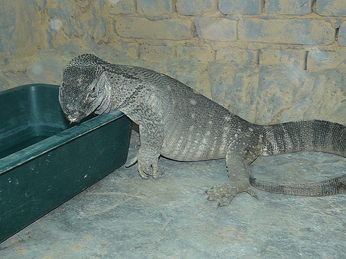 Savanna monitor