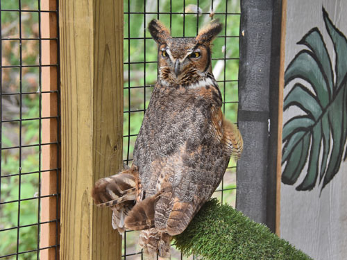 photo Bubo virginianus / Great horned owl