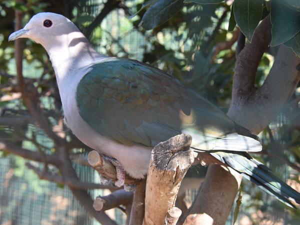 photo Ducula aenea / Green imperial pigeon