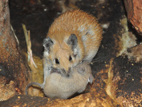 photo Golden spiny mouse / <span class='cursive'>Acomys russatus</span>