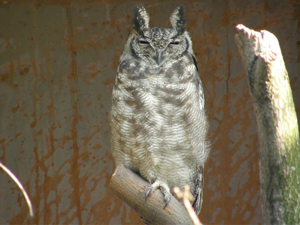 Vermiculated eagle owl
