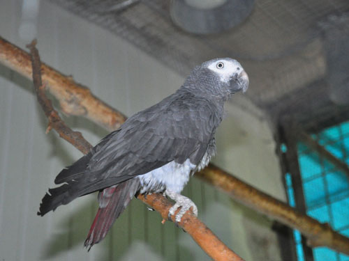 photo Timneh parrot / <span class='cursive'>Psittacus timneh</span>