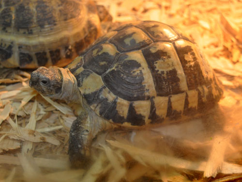 photo Spur-thighed tortoise / <span class='cursive'>Testudo graeca</span>