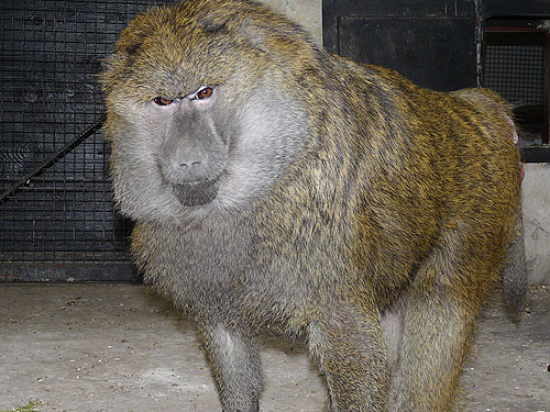 photo Olive baboon / <span class='cursive'>Papio anubis</span>