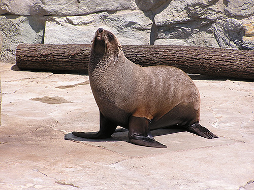 photo South African fur seal / <span class='cursive'>Arctocephalus pusillus pusillus</span>