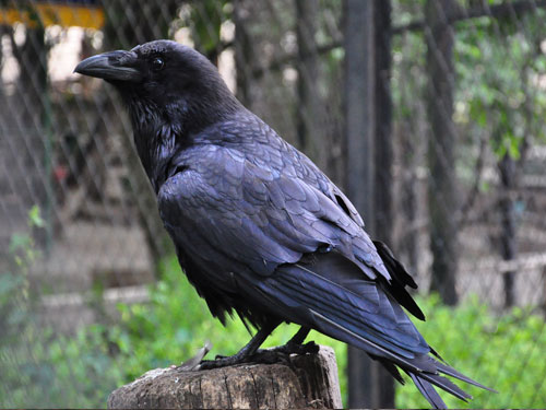 photo Raven / <span class='cursive'>Corvus corax</span>