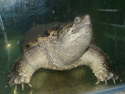 photo Snapping turtle / <span class='cursive'>Chelydra serpentina</span>