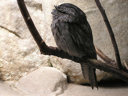 photo Tawny frogmouth / <span class='cursive'>Podargus strigoides</span>