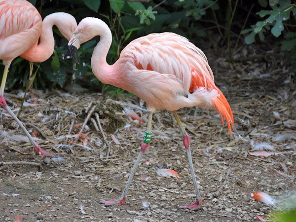 photo <span class='cursive'>Phoenicopterus chilensis</span> / Chilean flamingo