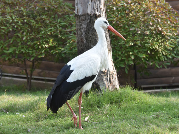 photo Ciconia ciconia / White stork