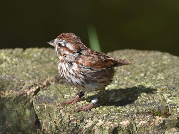 photo Song sparrow / <span class='cursive'>Melospiza melodia</span>