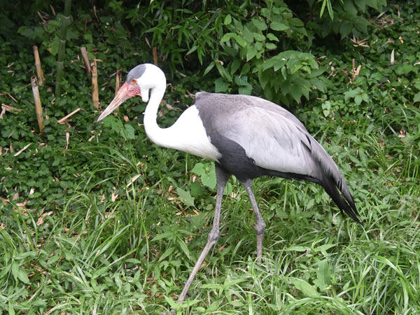 photo Wattled crane / <span class='cursive'>Bugeranus carunculatus</span>