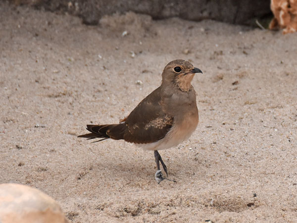 photo Collared pratincole / <span class='cursive'>Glareola pratincola</span>