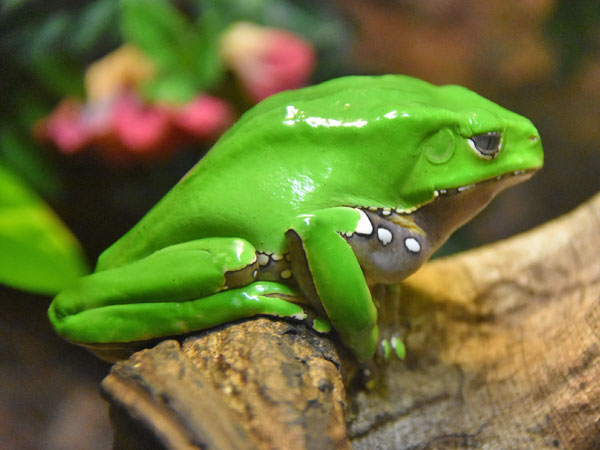 photo Giant waxy tree frog / <span class='cursive'>Phyllomedusa bicolor</span>