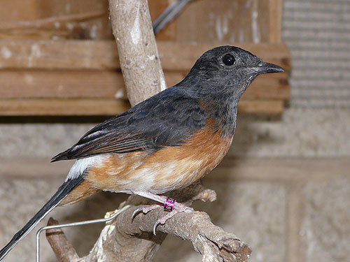 Common shama thrush