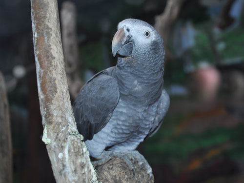 photo Psittacus timneh / Timneh parrot