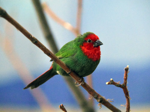 photo Red-throated parrot finch / <span class='cursive'>Erythrura psittacea</span>
