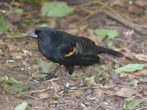 photo Red-winged blackbird / <span class='cursive'>Agelaius phoeniceus</span>