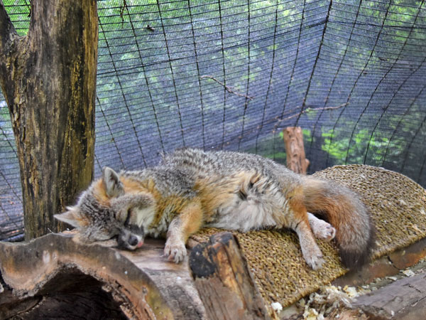 photo Grey fox / <span class='cursive'>Urocyon cinereoargenteus</span>