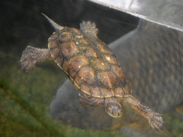 photo Mediterranean turtle / <span class='cursive'>Mauremys leprosa</span>