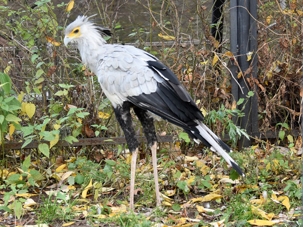 photo Secretary bird / <span class='cursive'>Sagittarius serpentarius</span>