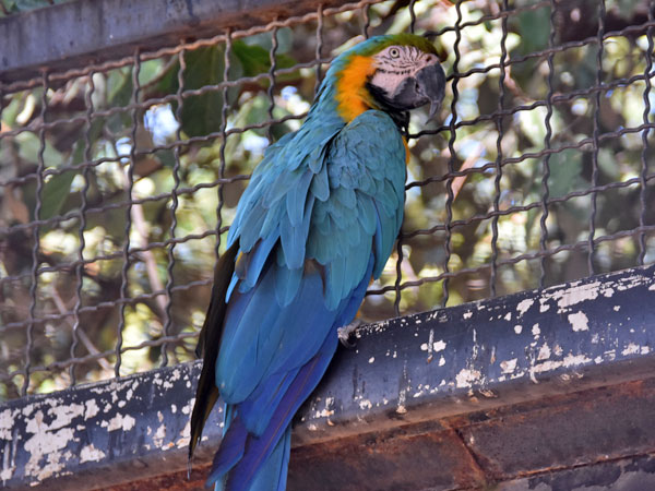 Blue-and-yellow macaw / Ara ararauna<br> Total: 149