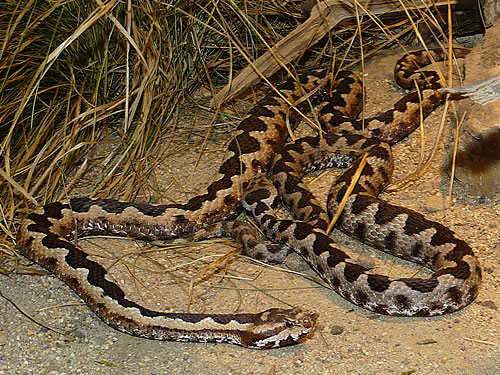 photo Long-nosed viper / <span class='cursive'>Vipera ammodytes</span>