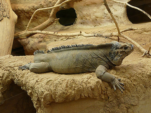 photo Cyclura cornuta cornuta / Rhinoceros iguana