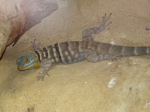 Baja blue rock lizard