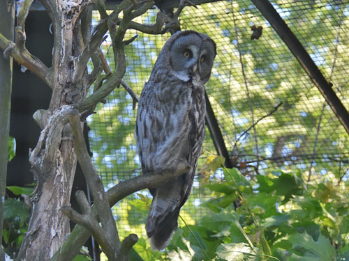 photo Strix nebulosa lapponica / Great grey owl