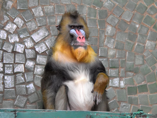photo Mandrill / <span class='cursive'>Mandrillus sphinx</span>