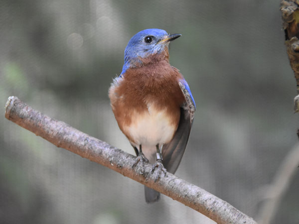 photo Eastern bluebird / <span class='cursive'>Sialia sialis</span>