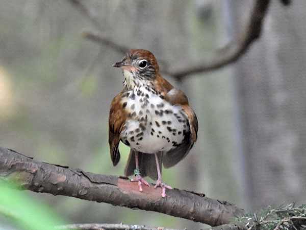 photo Wood thrush / <span class='cursive'>Hylocichla mustelina</span>