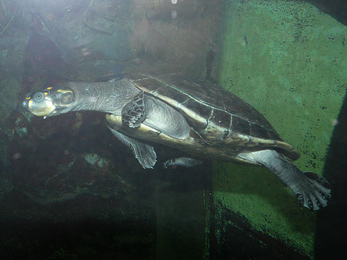photo Podocnemis unifilis / Yellow-spotted Amazon river turtle
