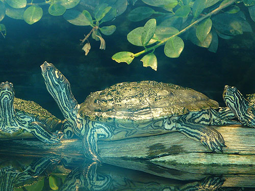 Black-nobbed map turtle