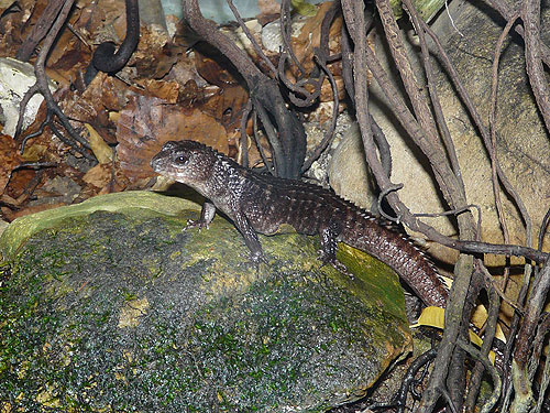 Gray's keeled skink