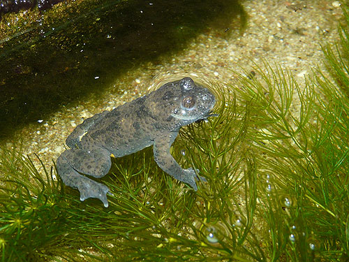photo European yellow-bellied toad / <span class='cursive'>Bombina variegata</span>