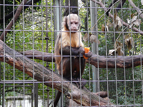 photo Golden-bellied capuchin / <span class='cursive'>Sapajus xanthosternos</span>