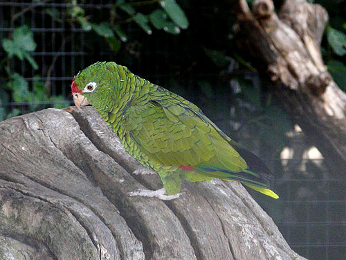 photo Tucuman amazon / <span class='cursive'>Amazona tucumana</span>
