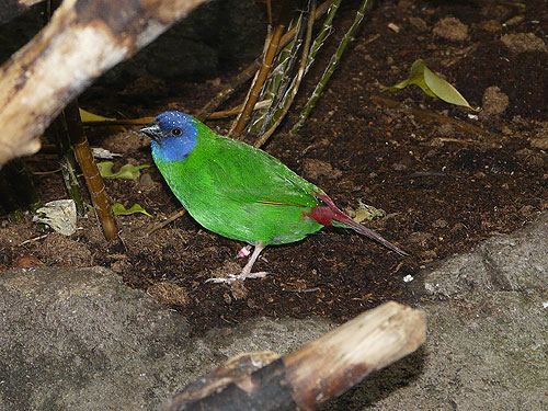 Blue-faced parrot finch