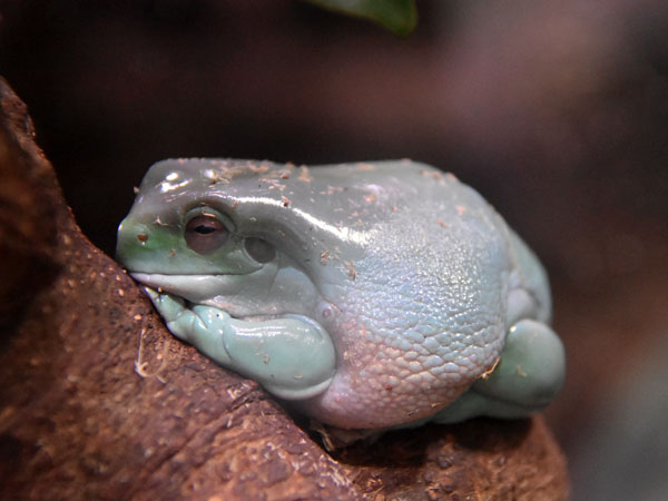 photo Litoria caerulea / Green tree frog
