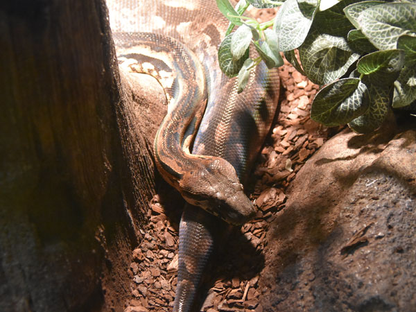 photo Madagascar ground boa / <span class='cursive'>Acrantophis madagascariensis</span>