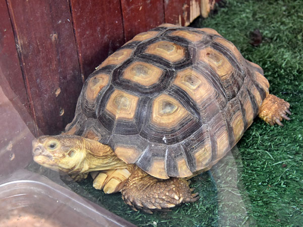 African spurred tortoise / Centrochelys sulcata<br> Total: 120