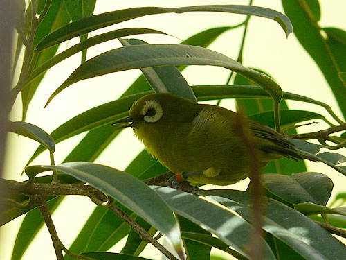 Broad-ringed white-eye