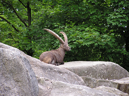 photo Alpine ibex / <span class='cursive'>Capra ibex</span>