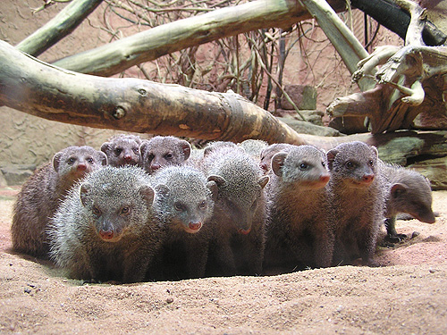 photo Banded mongoose / <span class='cursive'>Mungos mungo</span>