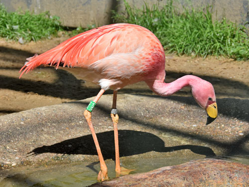 James'  flamingo
