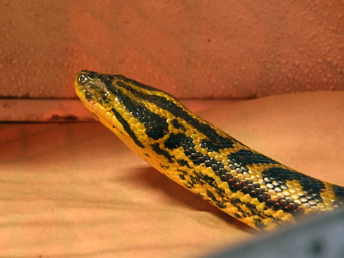 photo Eunectes notaeus / Yellow anaconda