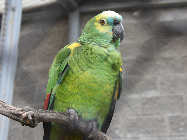 photo Blue-fronted amazon / <span class='cursive'>Amazona aestiva</span>
