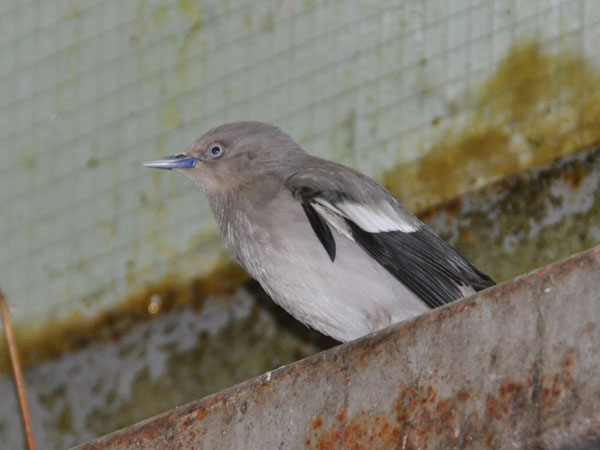 White shouldered starling